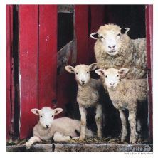 Framed Peek A Ewe Sheep Print