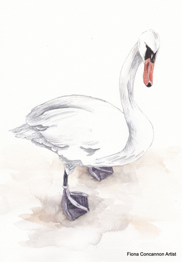 Limited Edition Print of an Irish Swan from the Claddagh in Galway